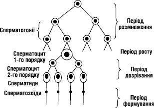 Стадії формування сперматозоїдів